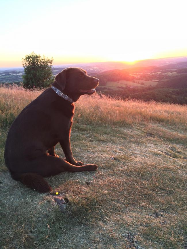 Clover, the dog, enjoying the view from the Malvern Hills.