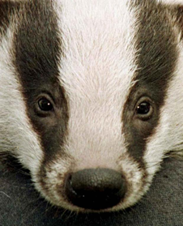 Badger cull will go ahead
