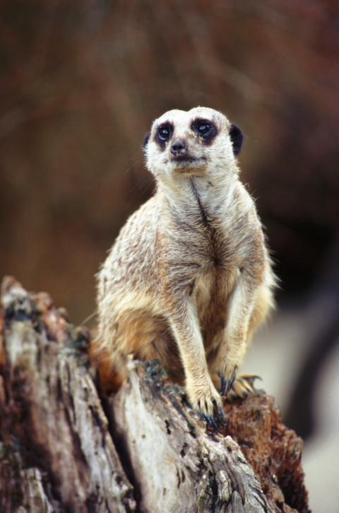 EXOTIC: The RSPCA has seized animals such as meerkats