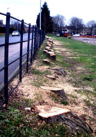 CUT DOWN: These trees in Victoria Park are now just stumps.