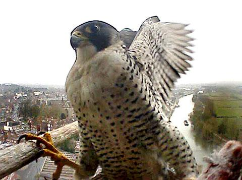 BIRD'S-EYE VIEW: An image of the male peregrine captured on the 'falcon-cam'.