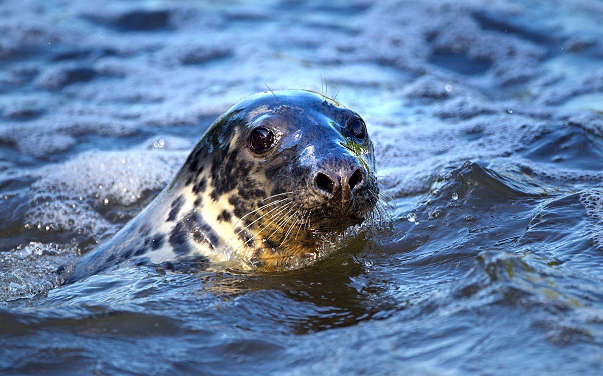 SAVE OUR SEAL: An online petition has been set up to stop Keith the seal being captured.