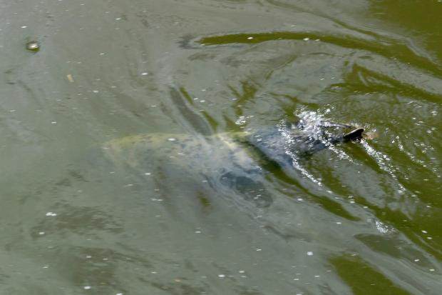 Keith the Seal spotted by Sally Robinson at Powick (6281004)