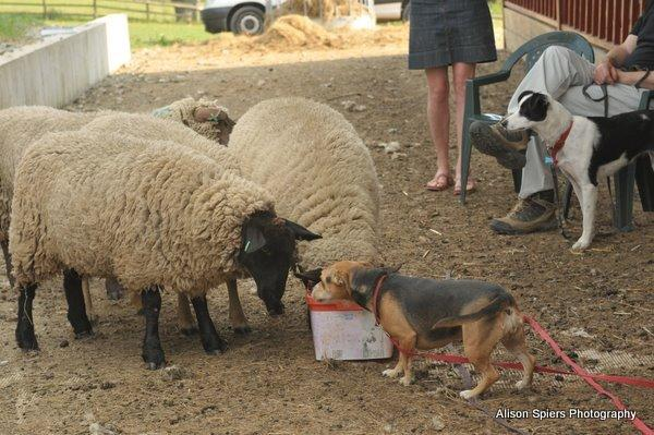 Credit: Alison Spiers Photography.Your dog can learn to control itself around livestock.
