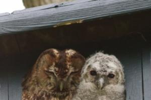 Rare visitor visits Pembridge B&B and Madley garden becomes home to newborn owl