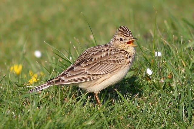 Skylarks are a vulnerable species.