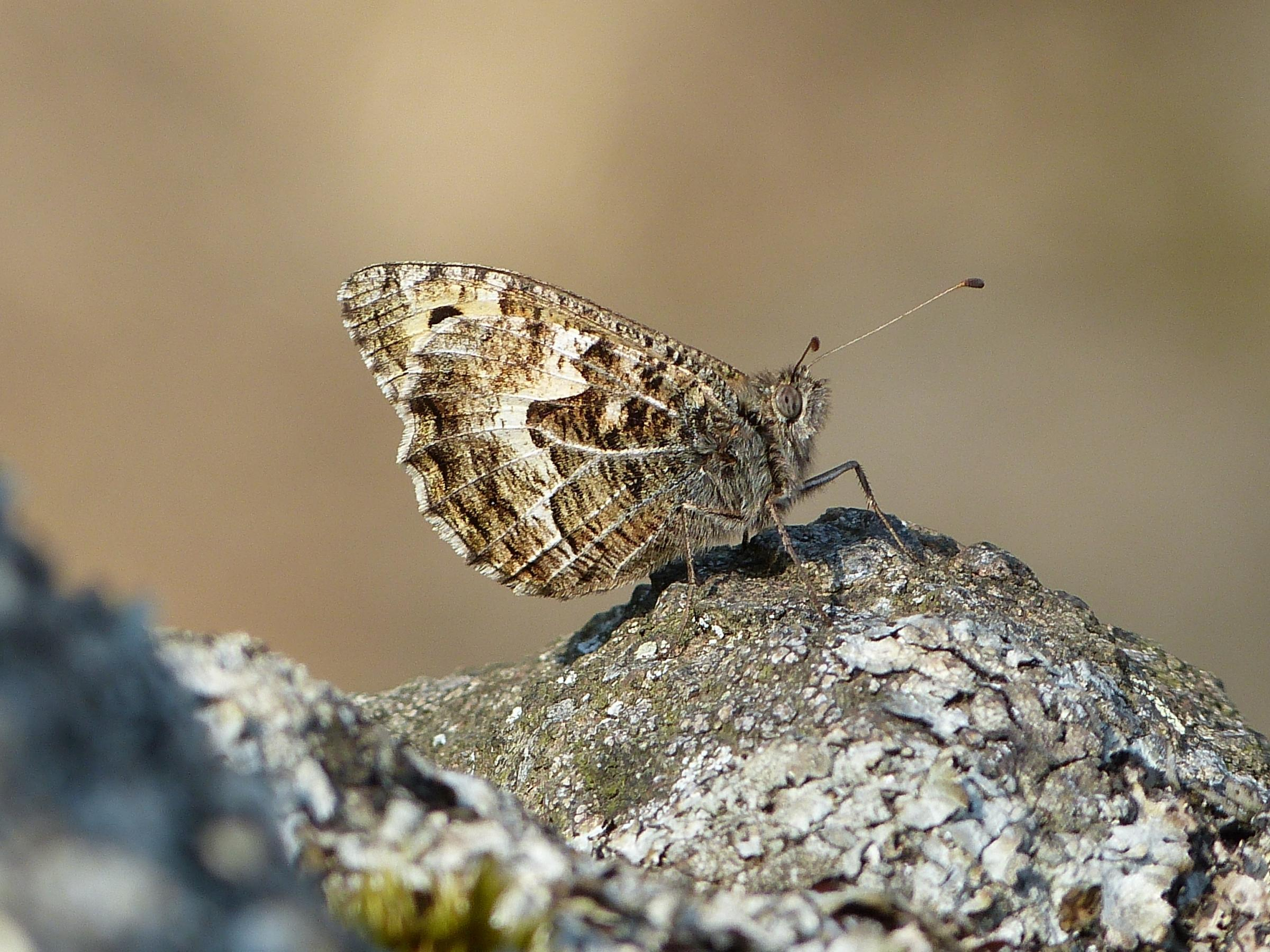 A grayling on North Hill. Picture: Mel Mason.